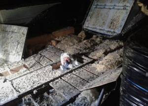 Pest control technician entering pigeon infested loft