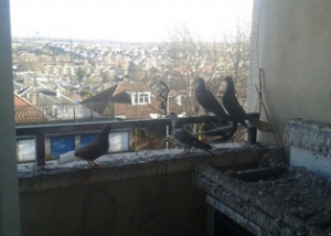Clearing guano and pigeons. C Hanlon Pest Control