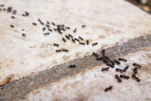 Ant infestation pest control Glasgow