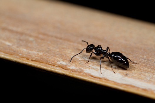 Ant pest control Glasgow