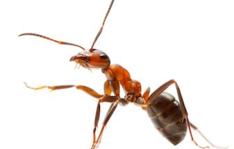 Ants C Hanlon Pest Control Glasgow