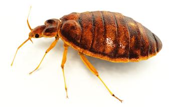 Bedbugs C Hanlon Pest Control Glasgow