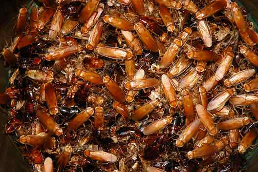 Cockroaches pest control Glasgow