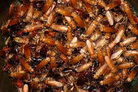 Cockroaches pest control Glasgow
