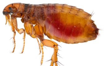 Fleas C Hanlon Pest Control Glasgow