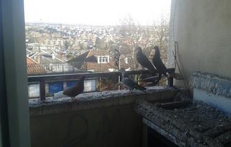 Pigeons guano bird C Hanlon Pest Control Glasgow