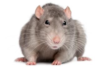 rats mice vermin C Hanlon pest control glasgow