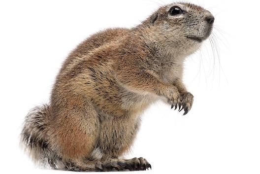 Squirrels C Hanlon Pest Control Glasgow
