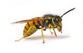 Wasps C Hanlon Pest Control Glasgow