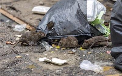 Mice C Hanlon Pest Control Glasgow Edinburgh