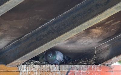 Pigeon nest C Hanlon Pest Control Glasgow Edinburgh