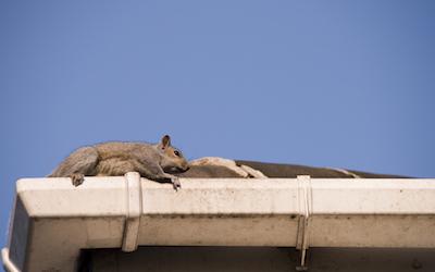 Squirrel on roof C Hanlon Pest Control Glasgow Edinburgh