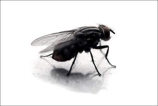 Flies pest control Glasgow